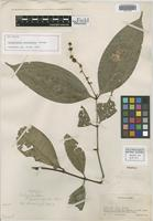 Isotype of Calyptranthes brevispicata McVaugh [family MYRTACEAE]