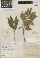 Isotype of Phoebe mollicella S. F. Blake [family LAURACEAE]