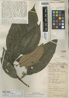 Holotype of Miconia belizensis Standl. [family MELASTOMATACEAE]