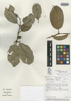 Isotype of Eugenia belloi Barrie [family MYRTACEAE]