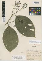 Isotype of Coussarea chariantha Standl. [family RUBIACEAE]