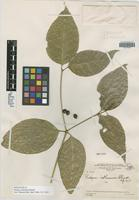 Holotype of Rudgea isthmensis Standl. [family RUBIACEAE]