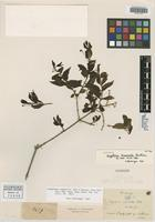 Isotype of Angelonia bisaccata Benth. [family SCROPHULARIACEAE]