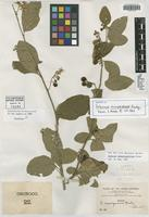 Isotype of Solanum sacupanense Rusby [family SOLANACEAE]