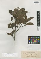 Isotype of Schima pulgarensis Elmer [family THEACEAE]