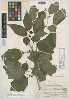 Holotype of Physalis chimalteca Standl. & Steyerm. [family SOLANACEAE]