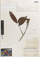 Isotype of Campsiandra rosea Poepp. & Endl. [family FABACEAE]