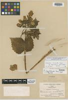 Isotype of Calceolaria aequilateralis Edwin [family SCROPHULARIACEAE]