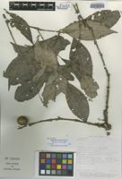 Isotype of Eugenia corusca Barrie [family MYRTACEAE]