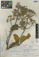 Isotype of Didymopanax chimantensis Steyerm.&Maguire [family ARALIACEAE]