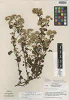 Isotype of Ageratina helenae R. M. King & H. Rob. [family ASTERACEAE]