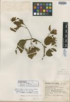 Isotype of Breweria elliptica L. B. Sm.&B. G. Schub. [family CONVOLVULACEAE]