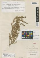 Isotype of Chamaesyce nashii Small [family EUPHORBIACEAE]