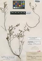 Isotype of Phyllanthus selbyi Britton & P. Wilson [family EUPHORBIACEAE]