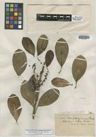 Holotype of Ficus popayanensis Standl. [family MORACEAE]