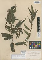 Isotype of Phenax globulifer Rusby [family URTICACEAE]
