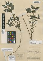 Isotype of Pouzolzia latistipula Friis & Wilmot-Dear [family URTICACEAE]