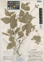 Holotype of Russelia laciniata Standl. & Steyerm. [family SCROPHULARIACEAE]