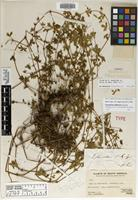 Holotype of Geranium choimacotense R. Knuth [family GERANIACEAE]