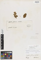 Isotype of Hyptis foliosa A. St.-Hil. ex Benth. [family LAMIACEAE]