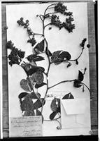 Holotype of Bauhinia speciosa Vogel [family FABACEAE]