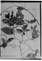 Type of Coccoloba sarmentosa S. Moore [family POLYGONACEAE]