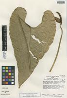 Isotype of Anthurium cotobrusii Croat & R. A. Baker [family ARACEAE]