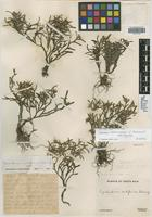 Isotype of Epidendrum cordiforme C. Schweinf. [family ORCHIDACEAE]