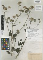 Isotype of Simsia submollicoma S. F. Blake [family ASTERACEAE]