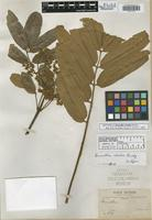 Isotype of Brunellia rhoides Rusby [family BRUNELLIACEAE]