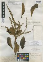 Isolectotype of Clethra broadwayana Briq. [family CLETHRACEAE]