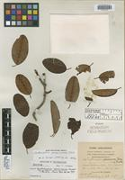 Isotype of Erythroxylum jamaicense Fawc. & Rendle [family ERYTHROXYLACEAE]