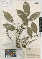 Isotype of Swartzia oraria R.S. Cowan [family FABACEAE]