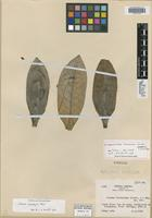 Isotype of Ocotea fulvescens Standl. & L. O. Williams [family LAURACEAE]