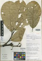 Isotype of Rhodostemonodaphne penduliflora Madriñán [family LAURACEAE]