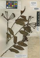 Holotype of Marcgravia schippii Standl. [family MARCGRAVIACEAE]