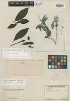 Isotype of Gardenia sellowiana Cham. & Schltdl. [family RUBIACEAE]