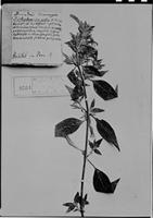 Type of Dicliptera congesta Humb. et al. [family ACANTHACEAE]