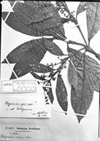 Type of Hedyosmum racemosum (Ruíz & Pav.) G. Don [family CHLORANTHACEAE]