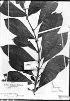 Type of Siparuna dasyantha Perkins [family MONIMIACEAE]