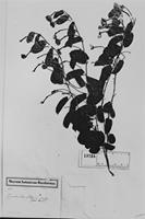 Type of Convolvulus sellowii Meisn. [family CONVOLVULACEAE]