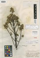 Isotype of Baccharis tricuneata Pers. var. robusta Cuatrec. [family ASTERACEAE]