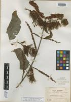Isotype of Combretum guanaiense Rusby [family COMBRETACEAE]
