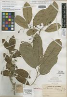 Isotype of Hasseltia lateriflora Rusby [family FLACOURTIACEAE]