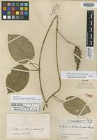 Isosyntype of Vincetoxicum gentlei Lundell&Standl. [family ASCLEPIADACEAE]