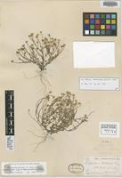 Isotype of Antheropeas australe Rydb. [family ASTERACEAE]