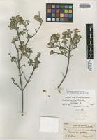 Isotype of Perymenium collinum Brandegee [family ASTERACEAE]