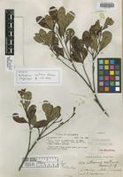 Isotype of Anthodiscus montanus Gleason [family CARYOCARACEAE]