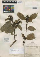 Isotype of Hedyosmum crenatum Occhioni [family CHLORANTHACEAE]
