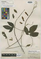Isotype of Cymbosema roseum Benth. [family FABACEAE]